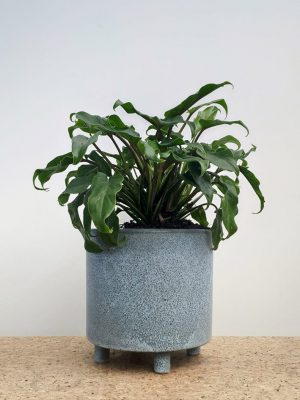 Philodendron Xanadu Blue Ceramic Pot