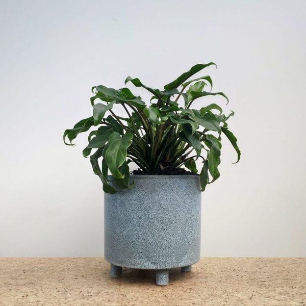 Philodendron Xanadu Blue Ceramic Pot