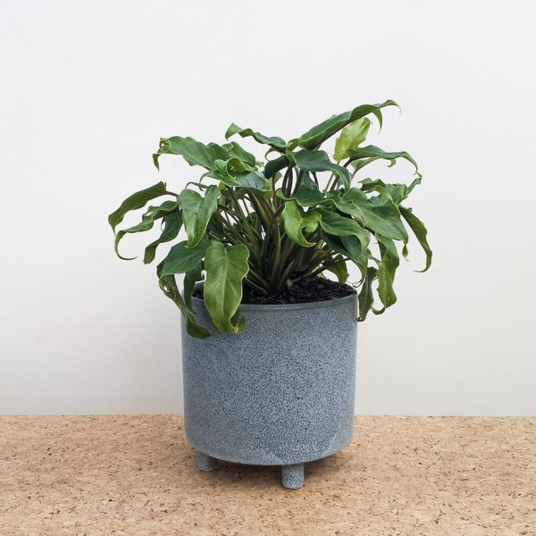Philodendron Xanadu Blue Ceramic Pot by Pot and Posy