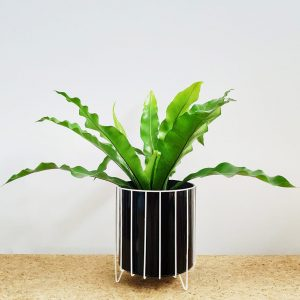 Birds Nest Fern Black Pot White Stand