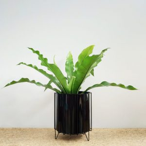 Birds Nest Fern Black Pot and Stand