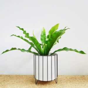Birds Nest Fern White Pot Black Stand