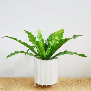 Birds Nest Fern White Pot and Stand