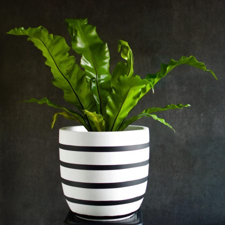 Birds Nest Fern White Pot Black Stripes