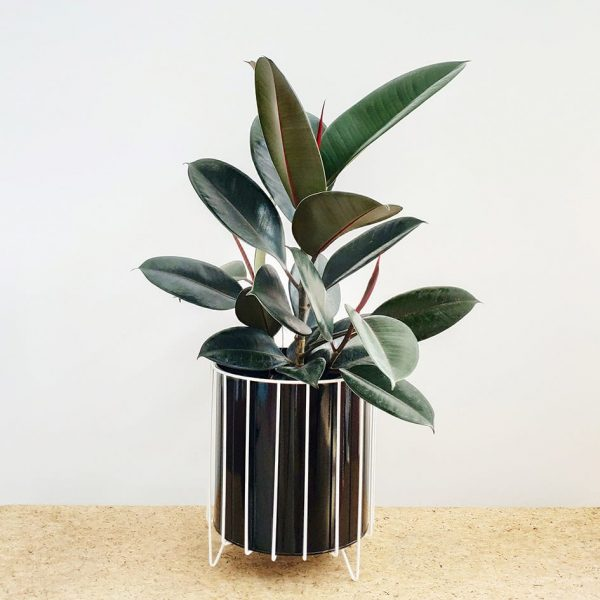 Burgundy Rubber Tree Plant Black Pot White Stand
