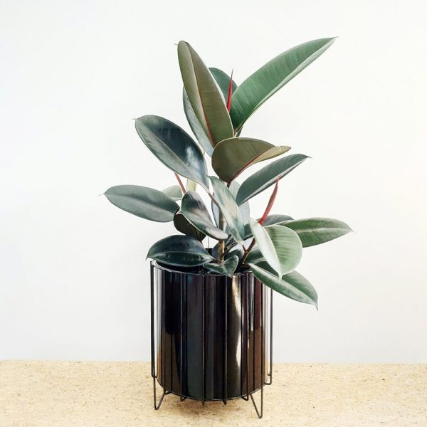 Burgundy Rubber Tree Plant Black Pot and Stand