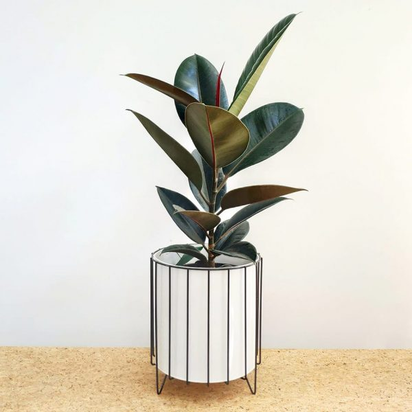 Burgundy Rubber Tree Plant White Pot Black Stand