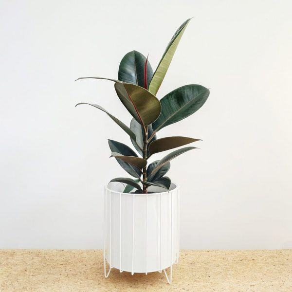 Burgundy Rubber Tree Plant White Pot and Stand