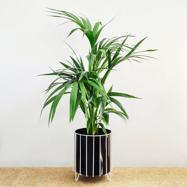 Kentia Palm Black Pot White Stand