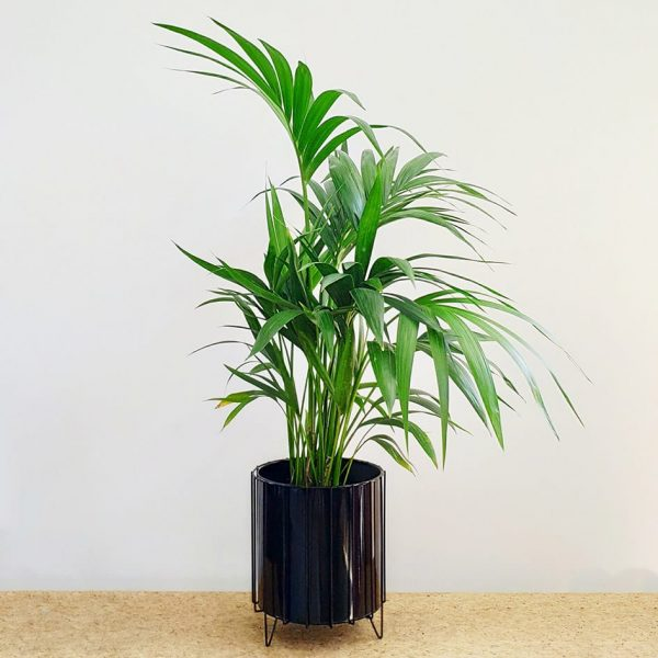 Kentia Palm Black Pot and Stand