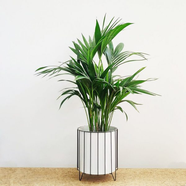 Kentia Palm White Pot Black Stand