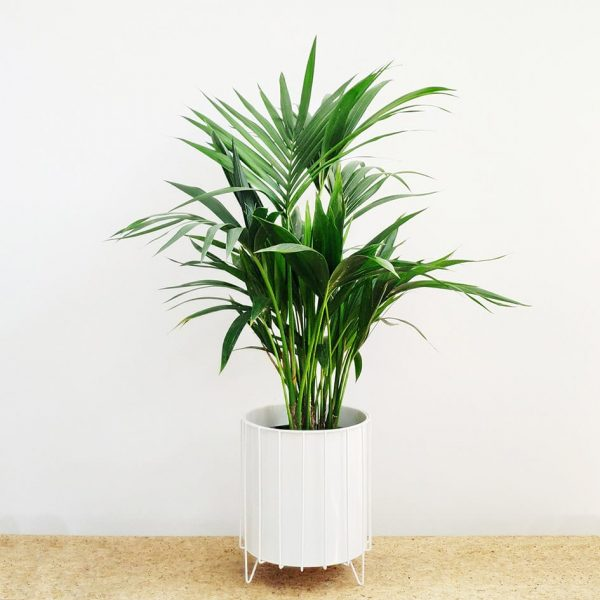 Kentia Palm White Pot and Stand