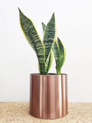 Mother-in-law's Tongue in Rose Gold Pot