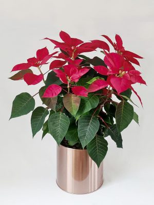 Poinsettia in a Rose Gold Pot by Pot and Posy