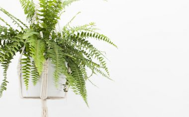 The Boston Fern