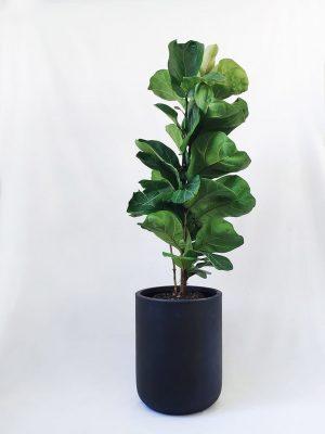 Fiddle Leaf Fig Ficus in Black Planter