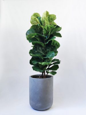 Fiddle Leaf Fig Ficus in Grey Planter