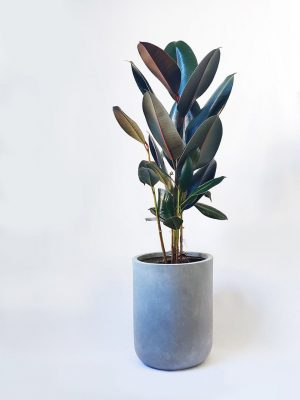 Rubber Tree Plant Ficus Elastica Burgundy in Grey Planter Pot