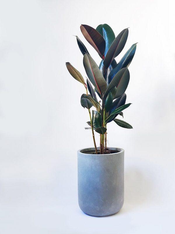 Rubber Tree Plant Ficus Elastica Burgundy in Grey Planter Pot