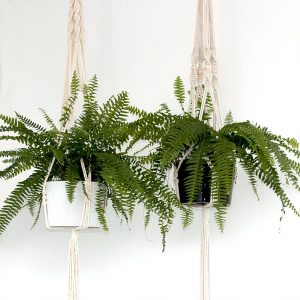 Two Boston Fern Hangers