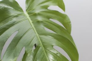 monstera deliciosa close-up