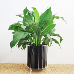 Peace Lily Black Pot White Stand Spathiphyllum