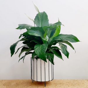 Peace Lily White Pot Black Stand