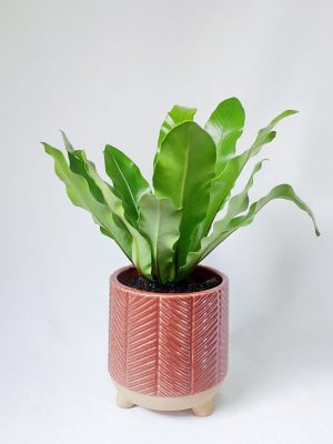 Birds Nest Fern in Terracotta Red Zari Planter