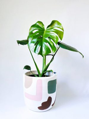 Monstera Deliciosa in Abstract Planter