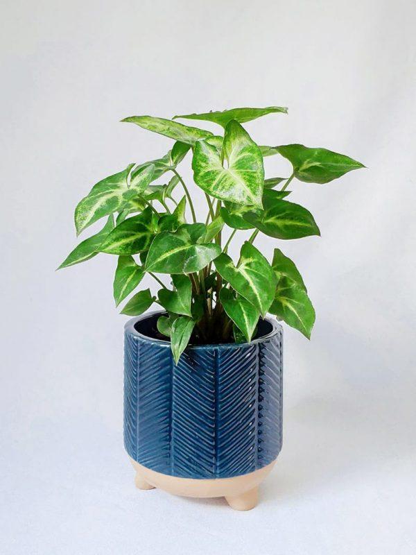 Small Arrowhead Plant in Navy Blue Zari Planter