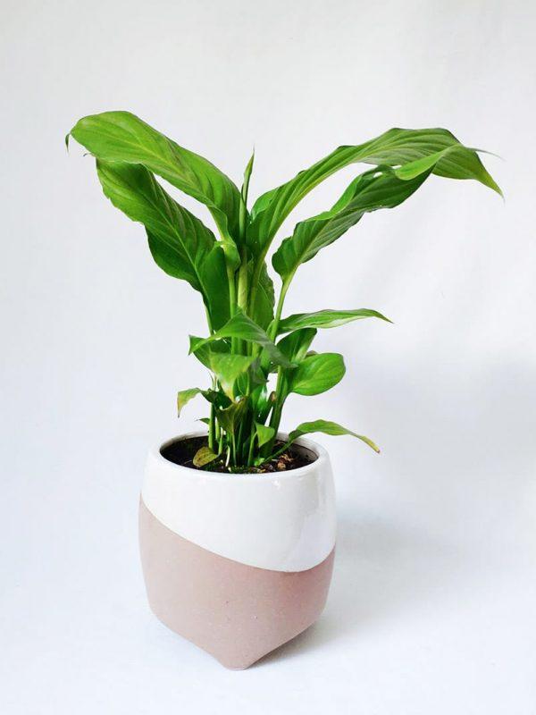 Small Peace Lily in Luna Planter