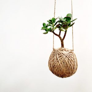Hanging Jade Plant Succulent Kokedama by Pot and Posy