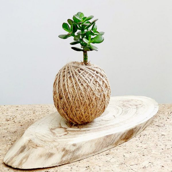 Jade Plant Succulent Kokedama by Pot and Posy