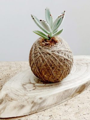 Panda Plant Succulent Kokedama by Pot and Posy