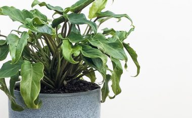 Care tips to keep your Philodendron Xanadu thriving