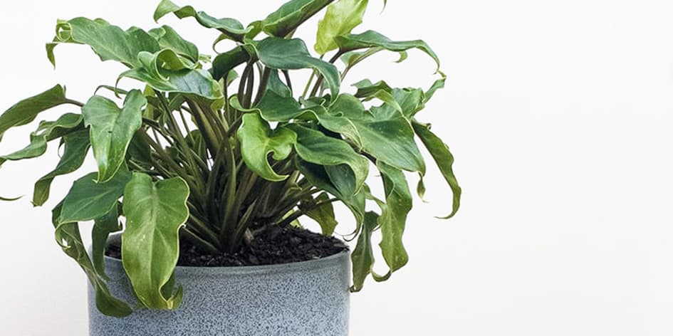 Philodendron Xanadu in a Blue Pot by Pot and Posy