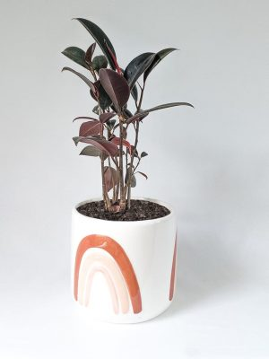 Ficus Burgundy Rubber Tree in Amber Rainbows Pot