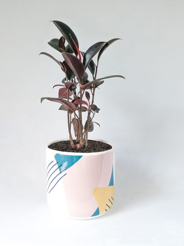 Ficus Burgundy Rubber Tree in Memphis Pot