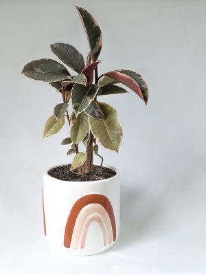 Ficus Variegated Rubber Tree in Amber Rainbows Pot
