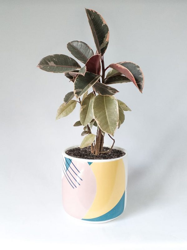 Ficus Variegated Rubber Tree in Memphis Pot