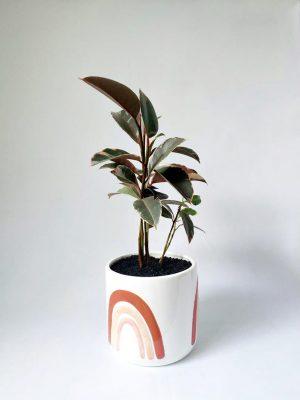 Variegated Ficus in Rainbows Pot