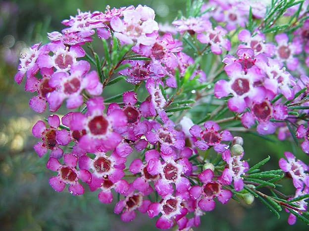 Mass of Geraldton Wax flowers