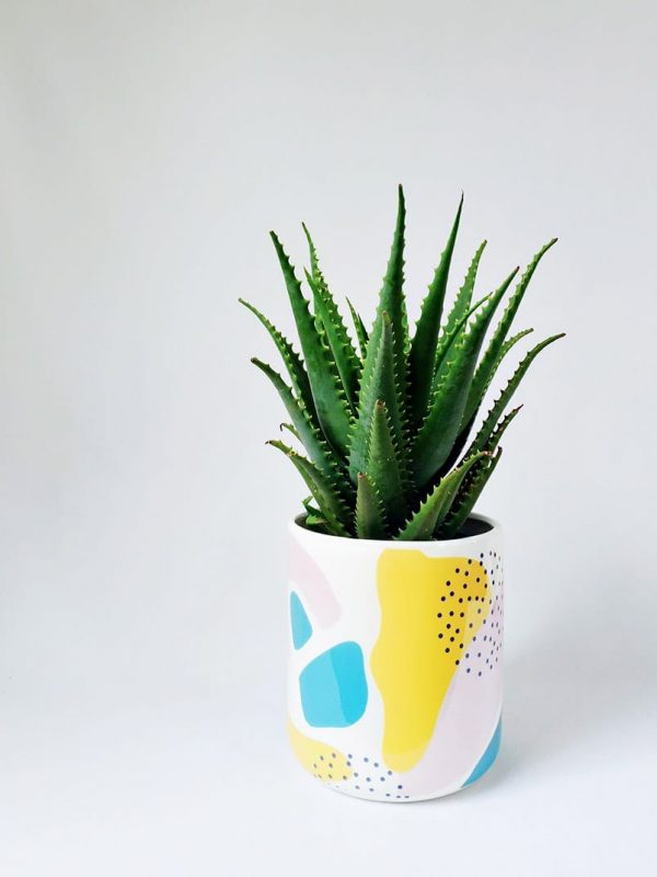 Aloe Gemini Plant Delivery by Pot and Posy