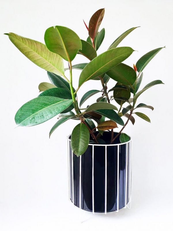 Rubbert Tree Plant Ficus Decora by Pot and Posy